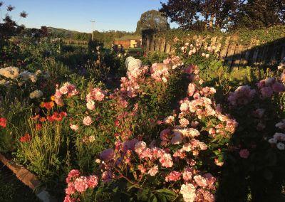 Kinder Garden Pinkroseramblingclose Wairarapa Garden Tour