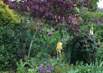 Kinder Garden Purpleiris+smoketree Wairarapa Garden Tour