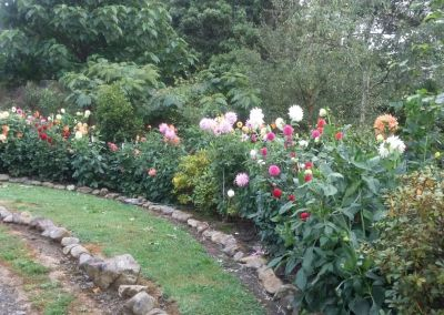 Dahlias In Garden