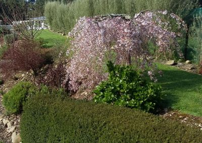 Driveway Weeping Cherry