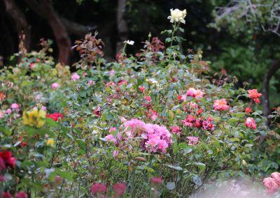 Pinky Roses En Masse