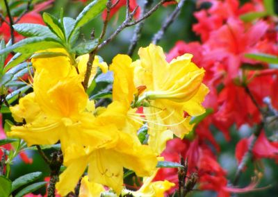 Yellow And Red Lillies