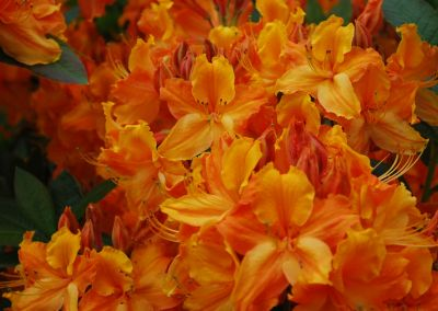 Braemore Farm Garden Tour 2019 Orange Rhodos