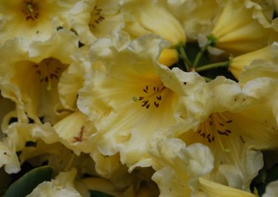 Braemore Farm Garden Tour 2019 Pale Yellow Rhodo