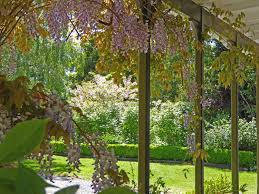 Wysteria Close To House