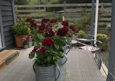 Geraniums In Cans On Table