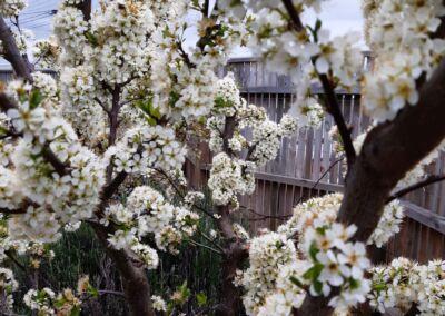 Plum Blossom Web