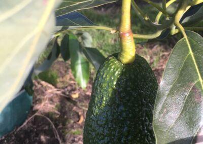 Avocado Web