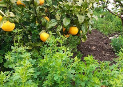 Citrus And Lucerne