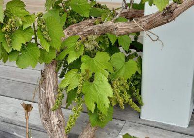 Grape Web